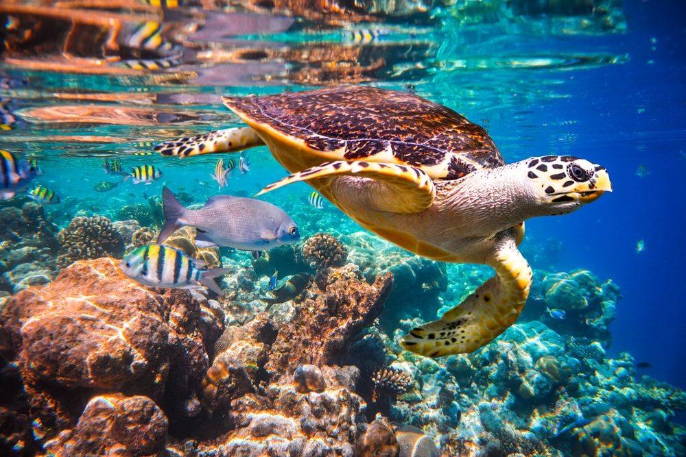 trópusi maldív