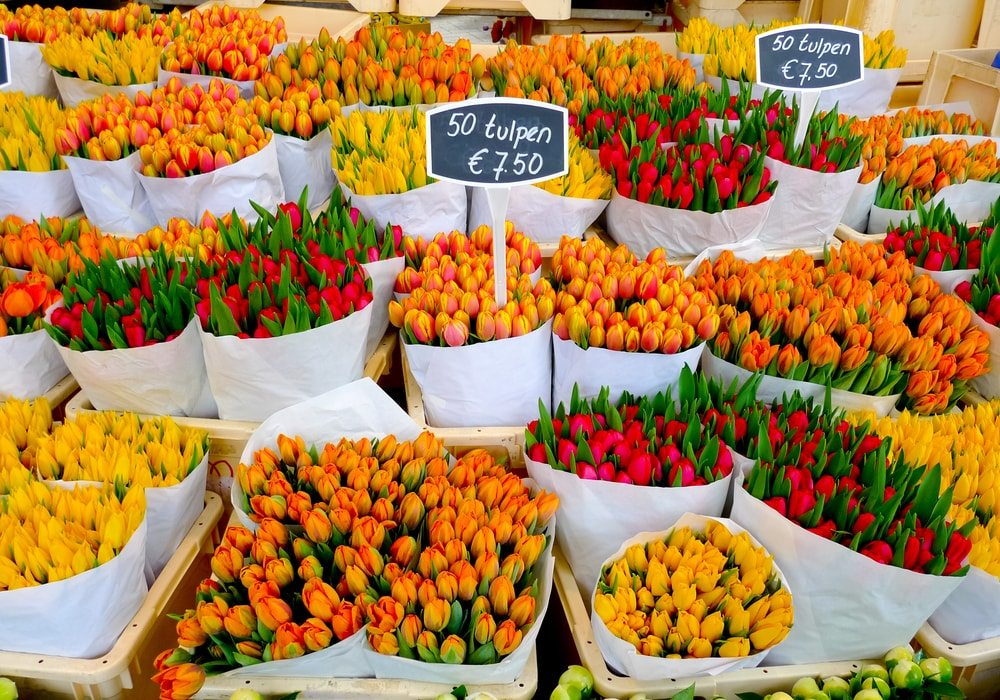 tulipanok-amszterdam